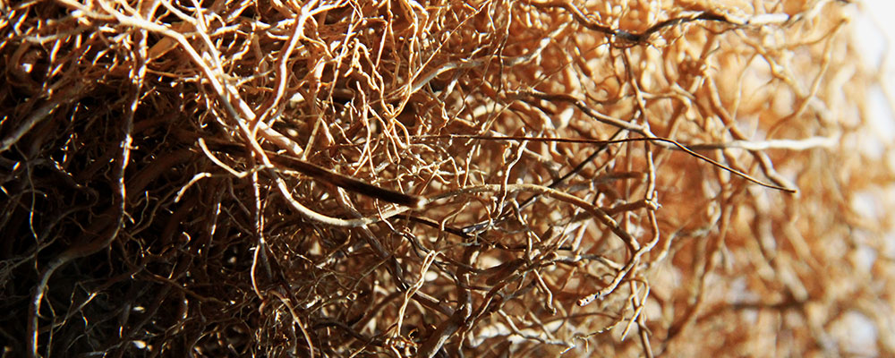 racines de vetivert